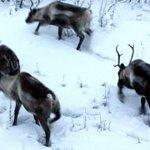 Starvation kills 80,000 Arctic reindeer as unusual weather cuts off food supply