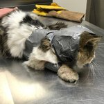 Cat recovering after found wrapped in duct tape
