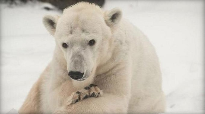 Oregon Zoo polar bear Tasul has passed away at the old age, for a polar bear, of 31