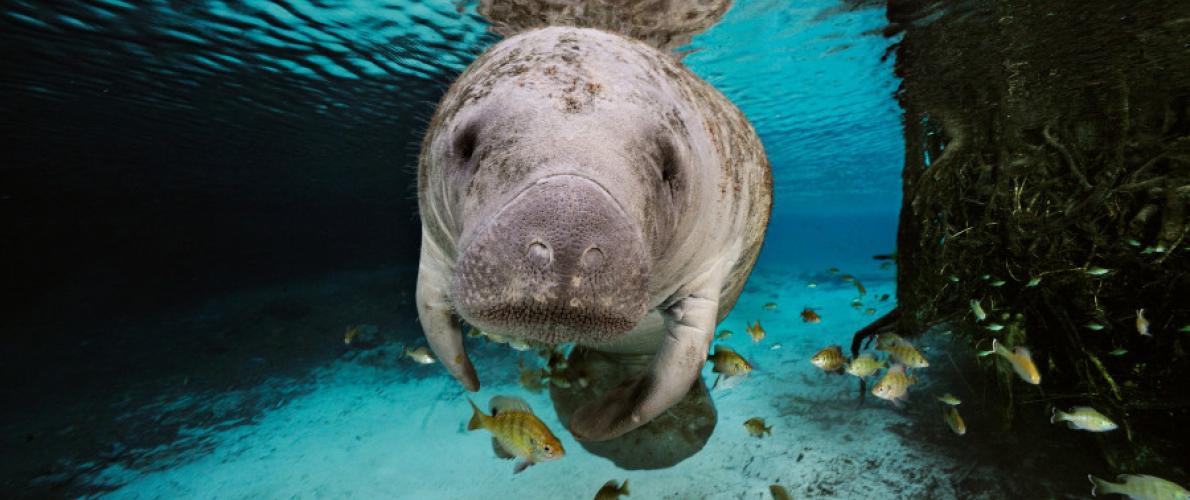 about manatees