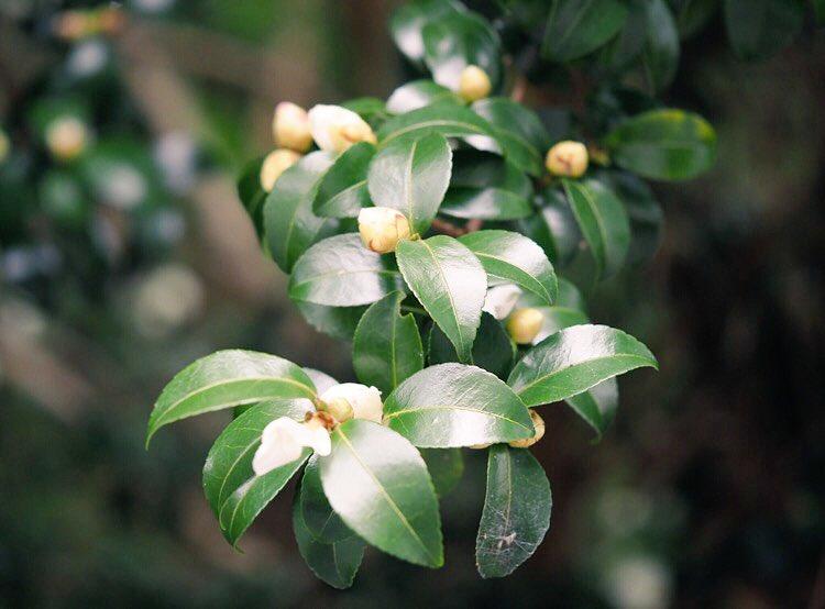 ももくりさん、こんにちは🤗今日は、朝から気温が上がらず寒いです💦蕾フェチ同盟のももくりさんへ、白い山茶花の蕾を🎵🍀今週