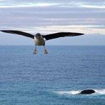 Threatened sea-bird travels thousands of kilometres to feed
