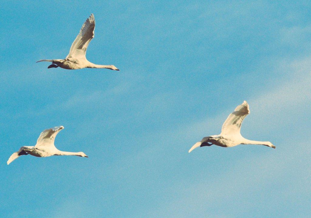 白鳥の飛来する季節になりましたね#ファインダー越しの私の世界 #写真好きな人と繋がりたい  #写真撮ってる人と繋がりたい