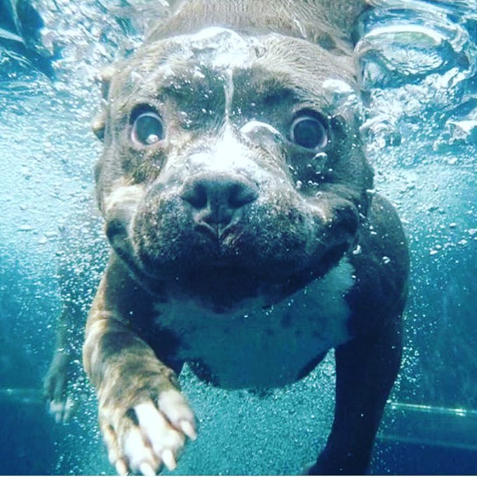 RT @thehomeofdogs: Swimin' 😇 #pitbull  #pitbulls #pitbullpuppy #pitbulllove #pitbulllife #dogs https://t.co/mTJ28qLd2B