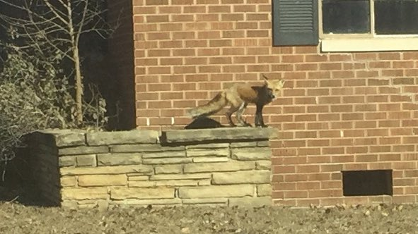 Uhhhhh, there's a fox running around at NW 50th & Penn. https://t.co/HLyMAsEUYf