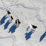 Isle Royale could get up to 30 gray wolves to fight threat of disappearance