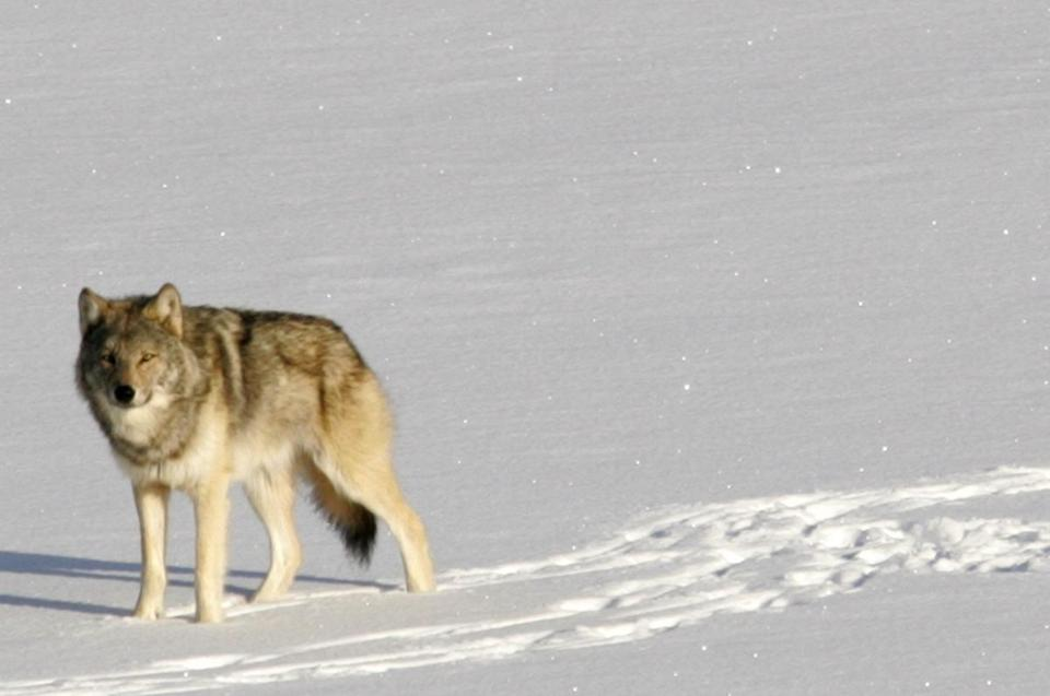 Michigan officials may boost depleted Isle Royale wolf population