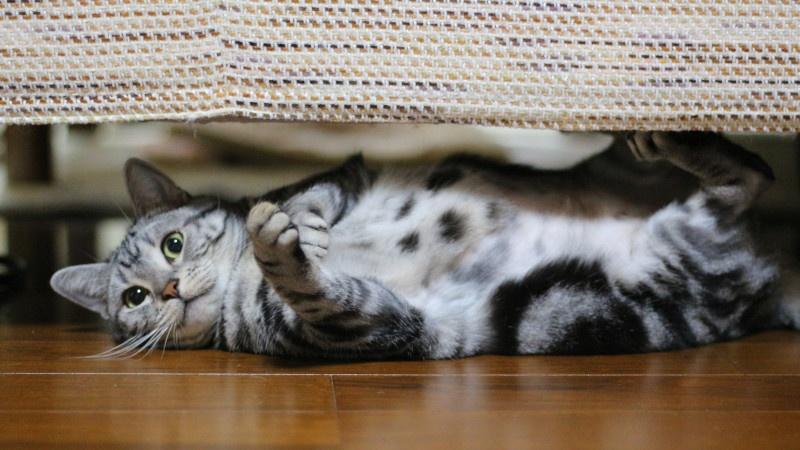 ソファの下で爪研ぎしてたら、見つかった!!#猫  #猫組労働   #アメショー