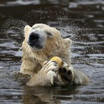 Polar bear numbers to plunge a third as sea ice melts