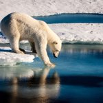 Polar bear numbers to plunge a third as sea ice melts: study