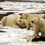 Polar bear numbers predicted to drop by a third