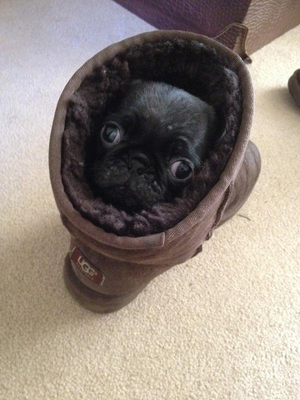 Hump day getting to you? Here's a pug in an @UGG looking snug