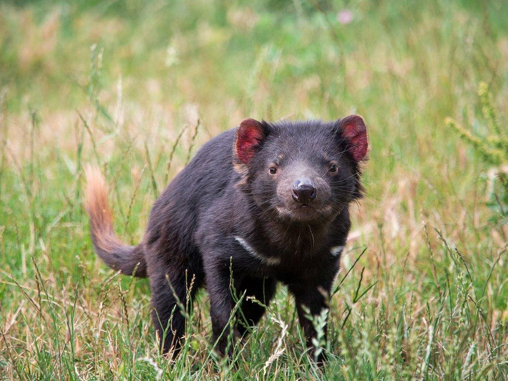 Tasmanian Devils evolving in response to deadly facial tumours: https://t.co/NCizPugIaY #weareutas #science https://t.co/tLsHbh3REs