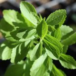 Smart Harvest: With sweet stevia, you have cancer and diabetes under strict control