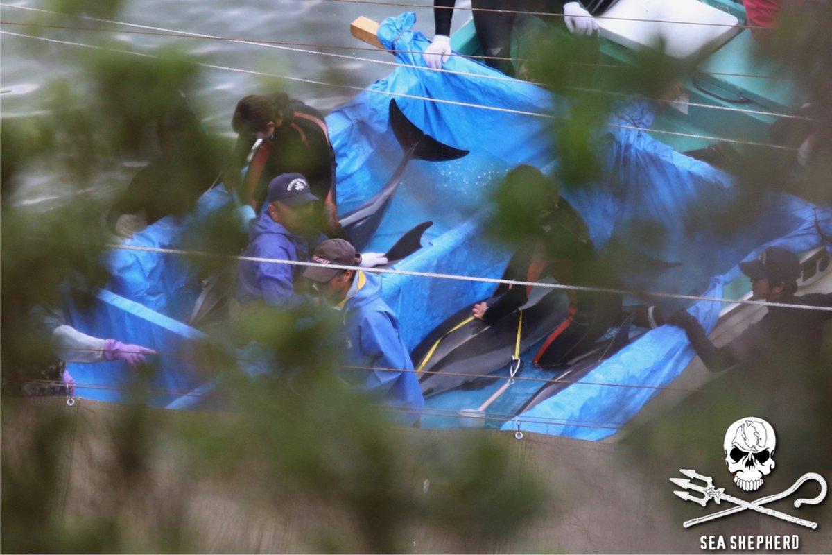 RT @CoveGuardians: 6 dolphins so far taken into captivity. 10:06am https://t.co/N7cjBj0l8t