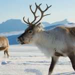 Reindeer shrink as climate changes