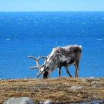 Santa in trouble? Reindeer shrink in Arctic as climate changes