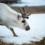 Reindeer are shrinking: warming threatens Christmas icon