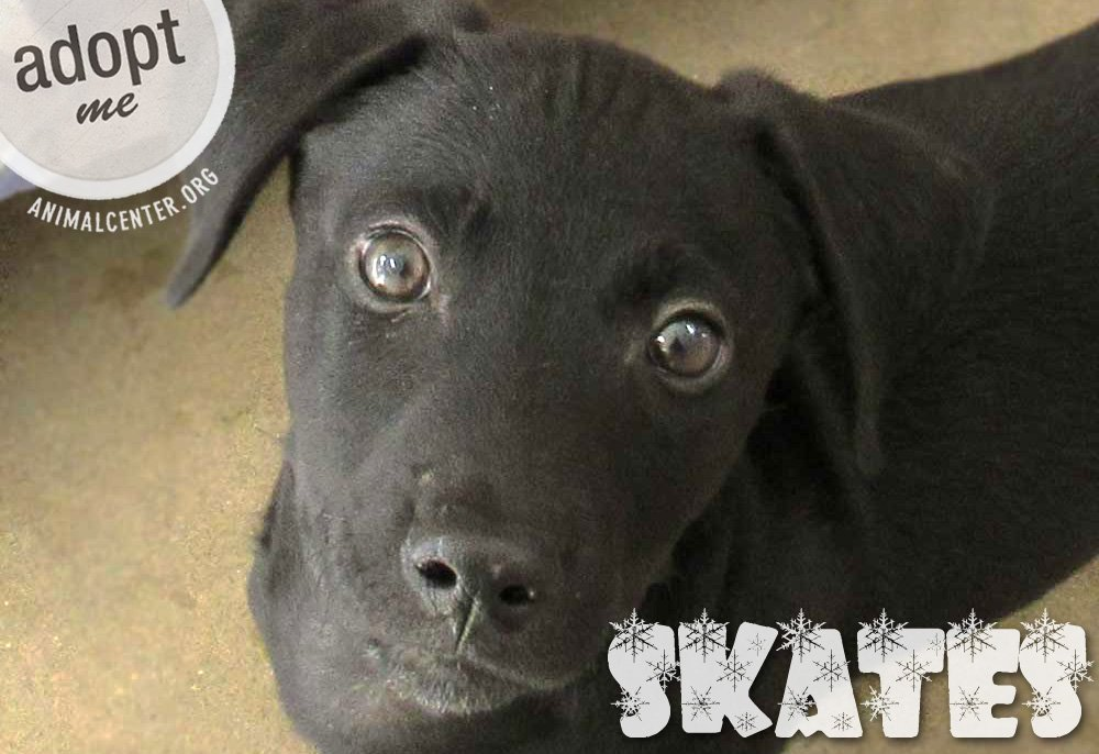 Skates will glide right into your heart! ⛸ Meet this 2-mo-old lab blend boy: https://t.co/OlRBAWc9b0 https://t.co/2YOzSUkAyp