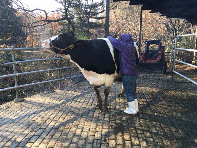 最後の朝を一番悲しんだのは妻だったかもしれません。最後までブラッシングをしていました。その後、拍子抜けするくらい素直に運搬車へ乗ってくれました。他の牛達ともお別れです。 https://t.co/F70yLgEKgT
