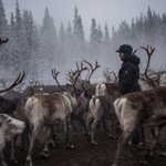 A smaller Rudolph? Scientists say reindeer are shrinking