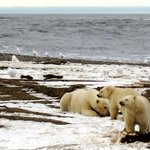 Polar bear numbers seen declining a third from Arctic sea ice melt