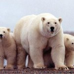 Polar bear population may decline by a third in few decades from Arctic sea ice melt