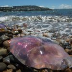 Dangerous jellyfish appear in Wellington Harbour