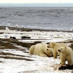 As Earth warms, polar bears vanishing