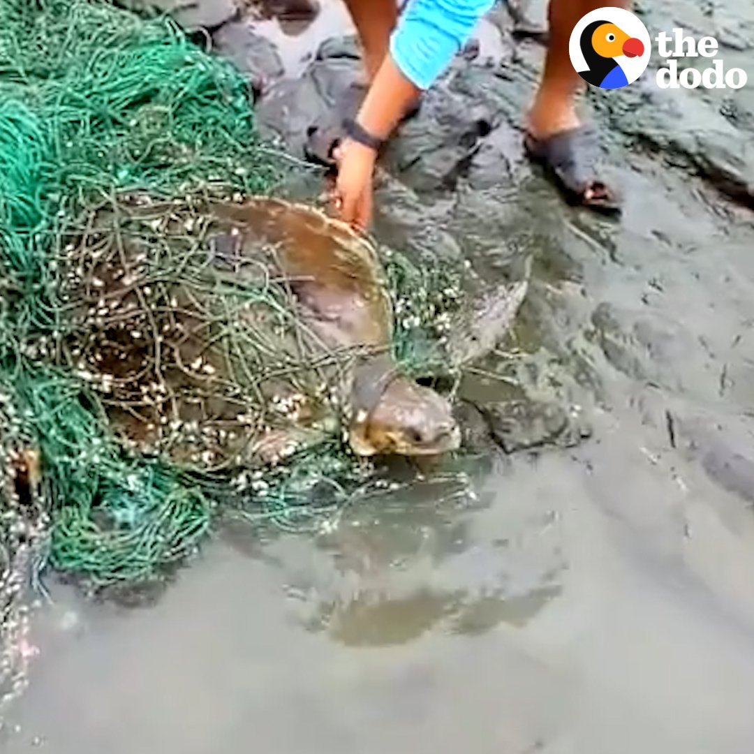 RT @dodo: These people found a HUGE sea turtle completely stuck in fishing net — and raced to cut him free ???????? https://t.co/CSGzjofZ1c