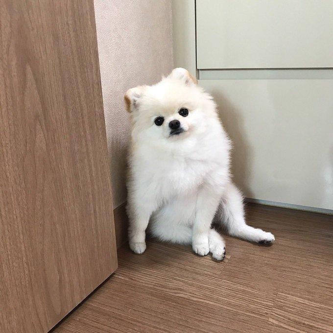 ポメラニアン 白 成犬