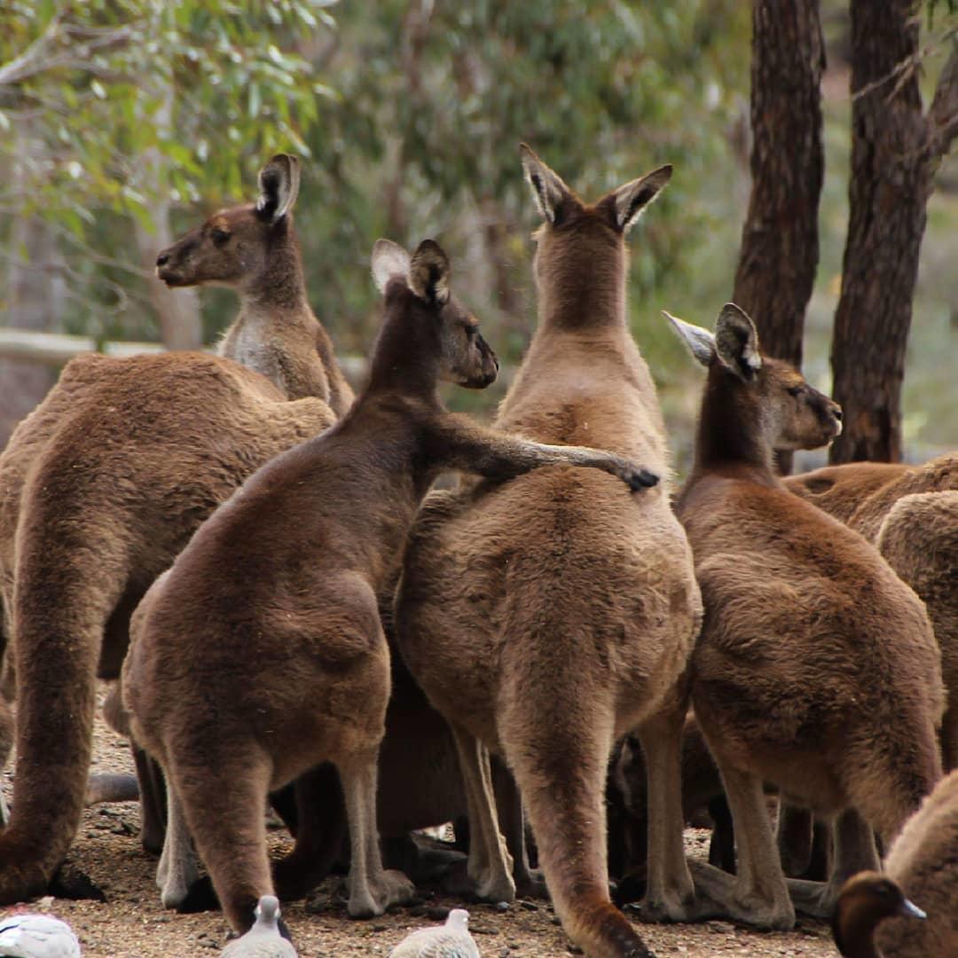 """So… you come here often?"" 🙊   (kangaroo Romeo via IG/patrick.irmscher at @westaustralia's #JohnForrestNationalPark)  #seeaustralia #justanotherdayinwa https://t.co/KbSif06GgK"