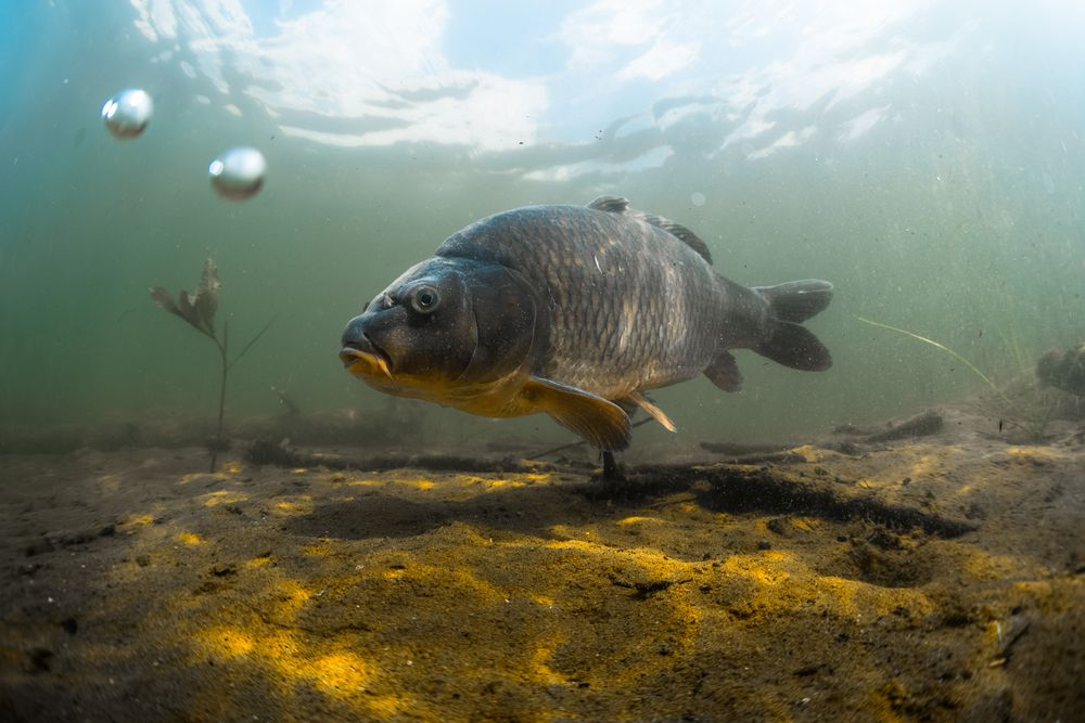 Here are some great carp fishing <b>Tips</b>! #carpfishing #fishing<b>Tips</b> #fishinglife https://
