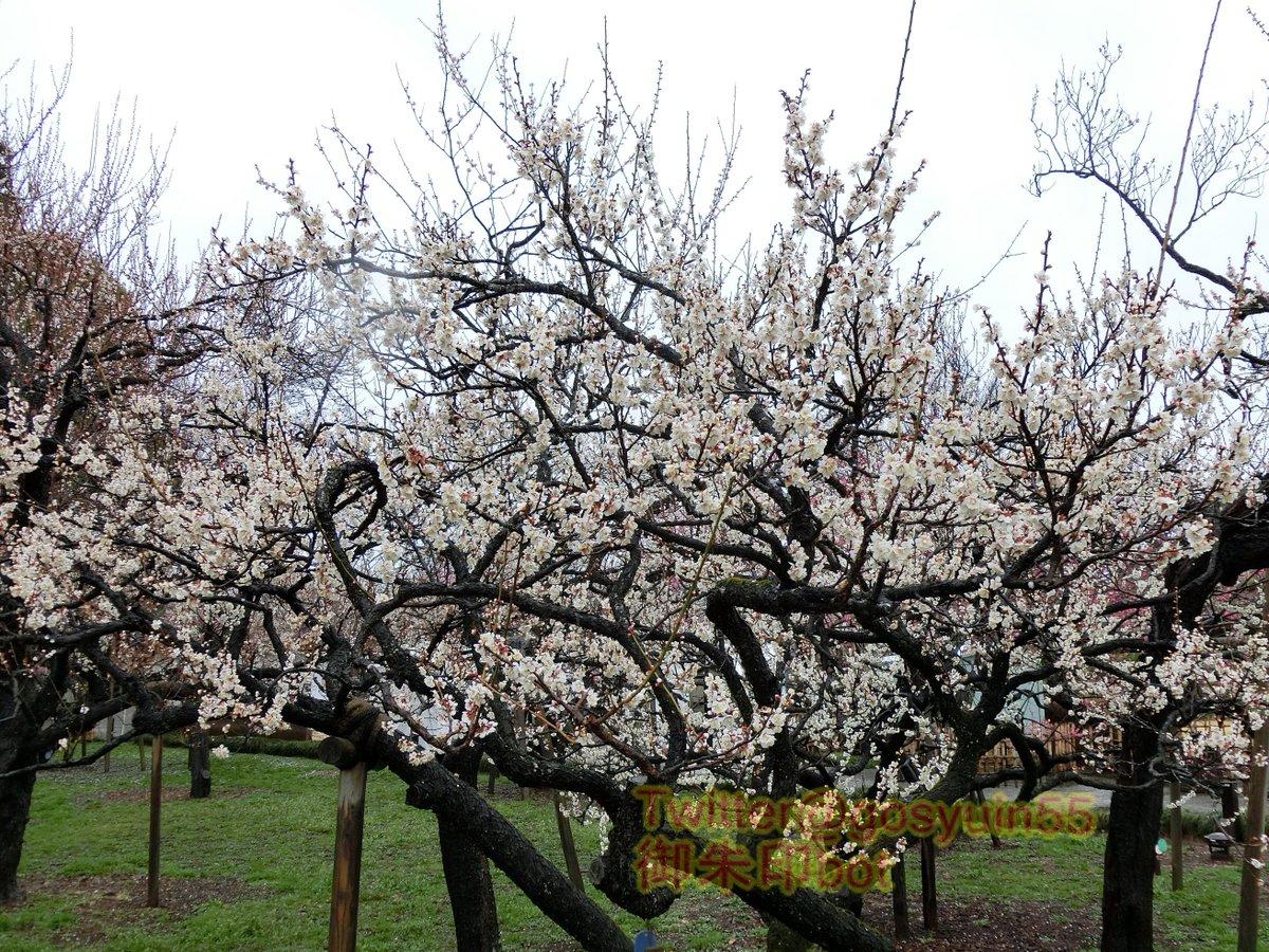 test ツイッターメディア - 茨城県水戸市鎮座『常磐神社』の御朱印帳。側にある偕楽園の梅が有名、その梅が大胆に描かれている。文字だけで無く、咲いた花々の中央にも金箔をあしらうことで、更に雅に感じる表紙と仕上がっている。 https://t.co/RgTgrOTwMH