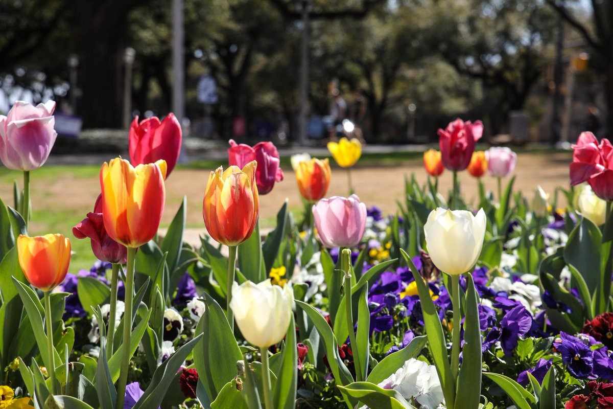 It's tulip time on campus! #FirstDayOfSpring 🌷 https://t.co/egSRNrqXoQ