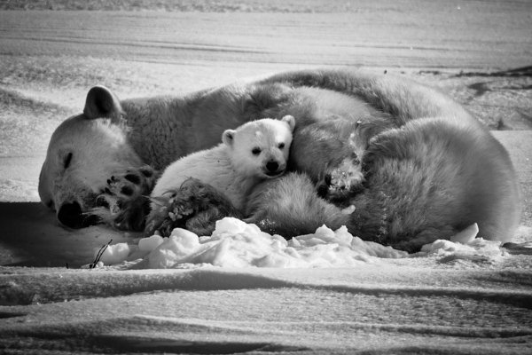 Patrimoine naturel et #biodiversité représentent notre plus grande richesse Il devient plus qu'urgent d'ériger sa #préservation comme principe absolu prioritairement à toute considération d'ordre économique ou financier  Sleeping polar bear with cub @laurentbaheux  Canada 2016 https://t.co/Y1UURkLmT6