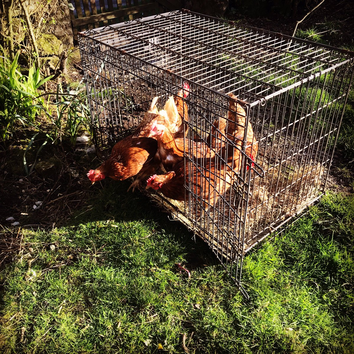 #savedfromslaughter #18monthsold #eggmakingmachines #cruelworld #happylives @BHWTOfficial https://t.co/RLQX7xjdjM
