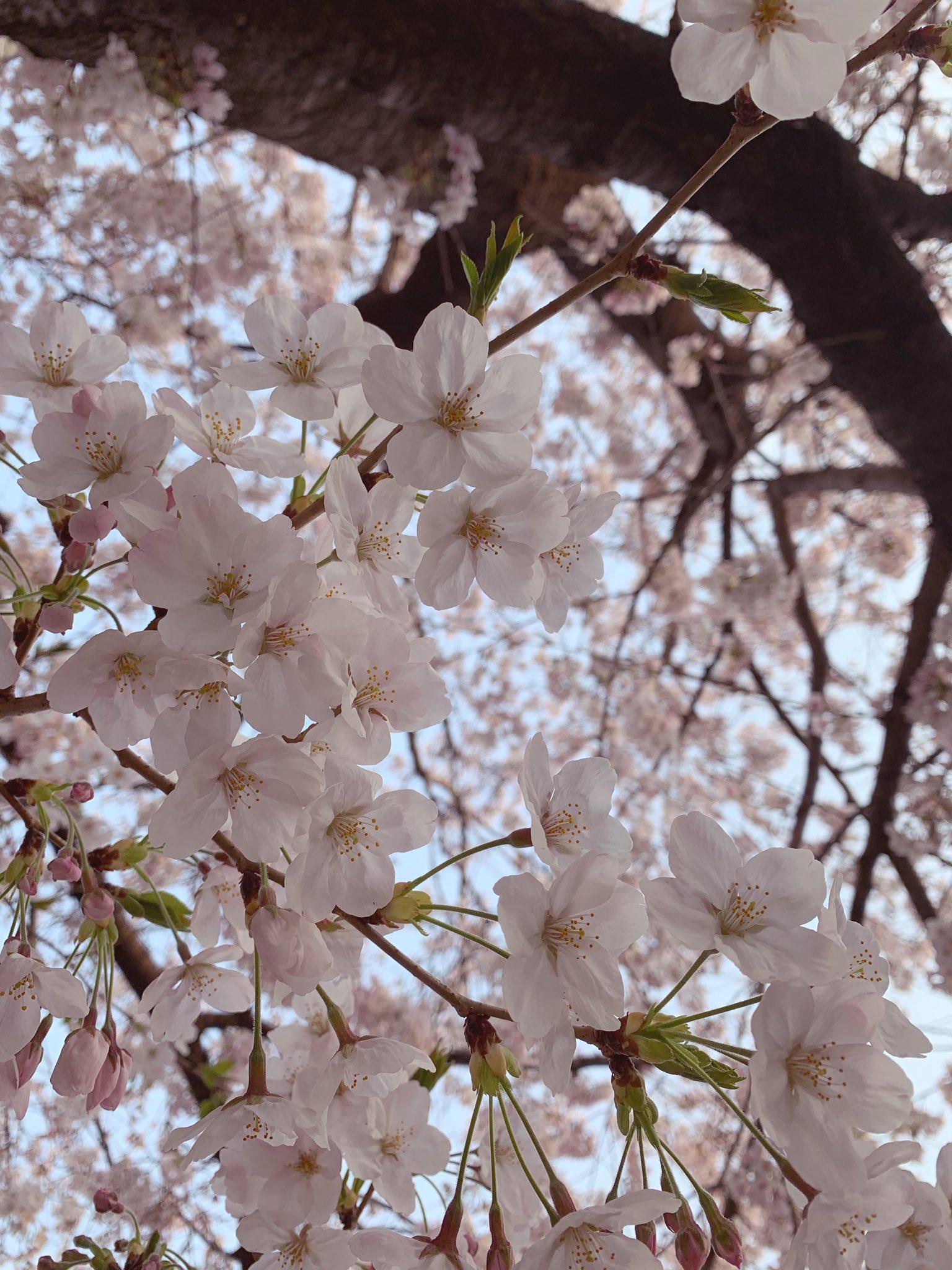 私も自分で撮った今年の桜写真を投稿しておこう〜🌸🌸🌸〜 https://t.co/Q3Gyvn8BsQ