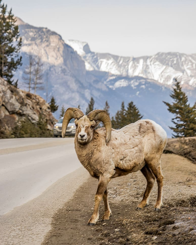 The Lake Minnewanka loop offers an excellent opportunity to see Banff's unique wildlife. What have you spotted on this scenic drive? 📷: ishi.insta #mybanff https://t.co/9BnOWwsnfe
