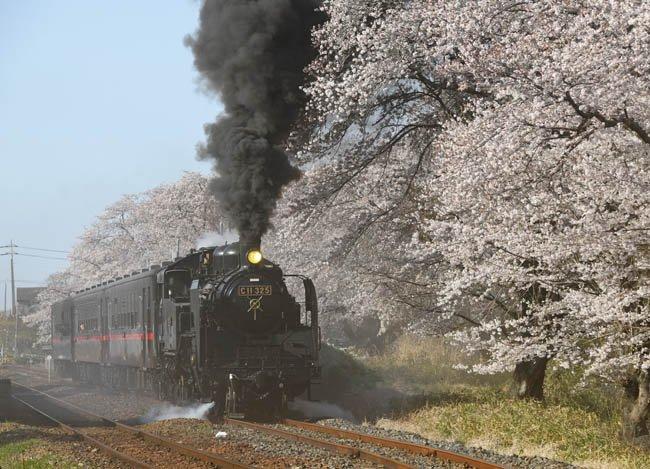 test ツイッターメディア - 絶景を行く~2019春~の2回目=10日付は、真岡鉄道真岡線の久下田(くげた)駅で6日、満開の桜並木を発車するSLもおか号。蒸気機関車(SL)C11形は今春、東武鉄道へ売却が決まり、真岡鉄道では最後の桜並木との共演に。大勢の鉄道ファンが一瞬の絶景を見守った。21年間ありがとう。 https://t.co/DSyUyR4i7R