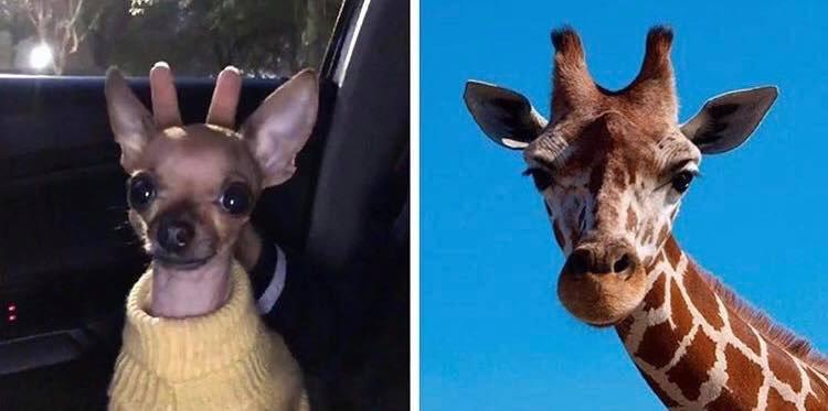 RT @SuavesLomitos: soi una jirafa 🦒 https://t.co/owEP6346pW