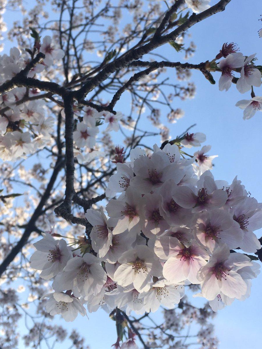 test ツイッターメディア - 散るちょっと前のソメイヨシノは花の中心が濃くなるんだって。 確かお天気検定で言ってた。  ほんときれい🌸 ひらひら舞う花びらもきれい。桜ってすてき。 https://t.co/d4cNU9Dm1M