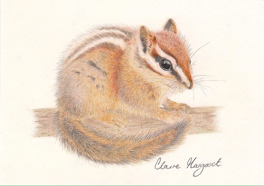 """Had time to finish my little #Chipmunk today, taking a break from my other project. 6x4"""" #polychromos #fabercastell pencils on #winsorandnewton paper. Hope you like her, original will be for sale on my website and etsy shop tomorrow ✨ https://t.co/43tHys92Dh"""