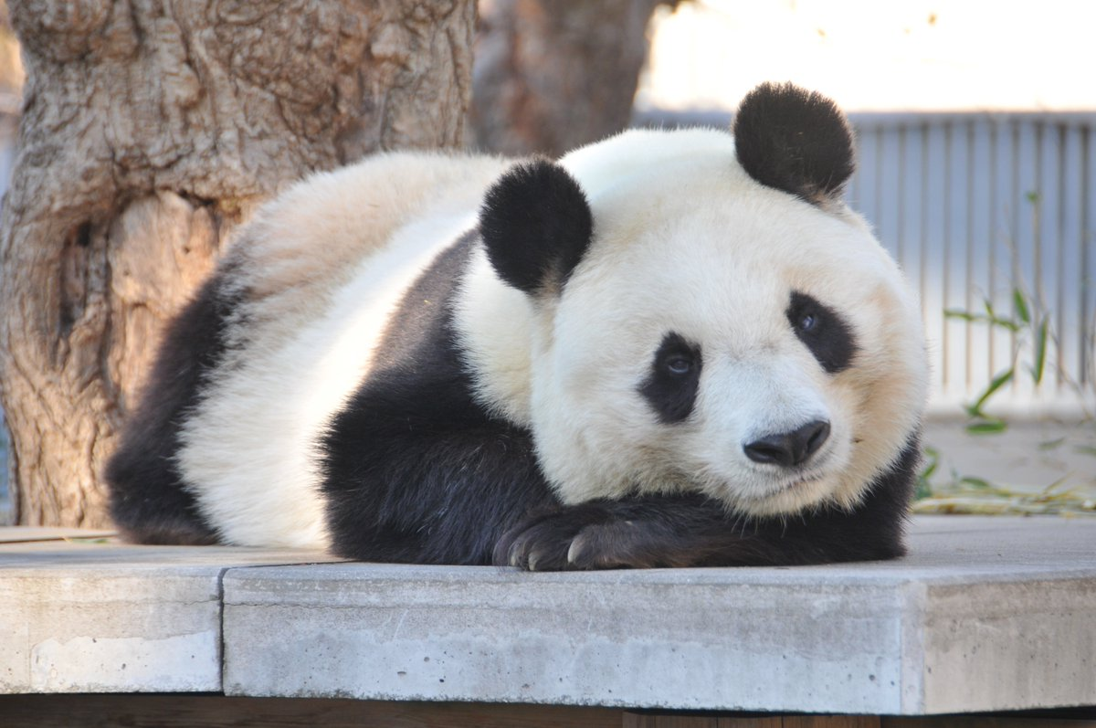 test ツイッターメディア - 東京のパンダ、シャンシャンに比べ、いささか影が薄いのが神戸・王子動物園のパンダ、タンタンです。6頭でにぎわう和歌山のアドベンチャーワールドに比べても寂しげです。王子動物園のパンダの歩みを振り返ってみました。  https://t.co/wKkS2dDPTd https://t.co/KmTtgvrGTo