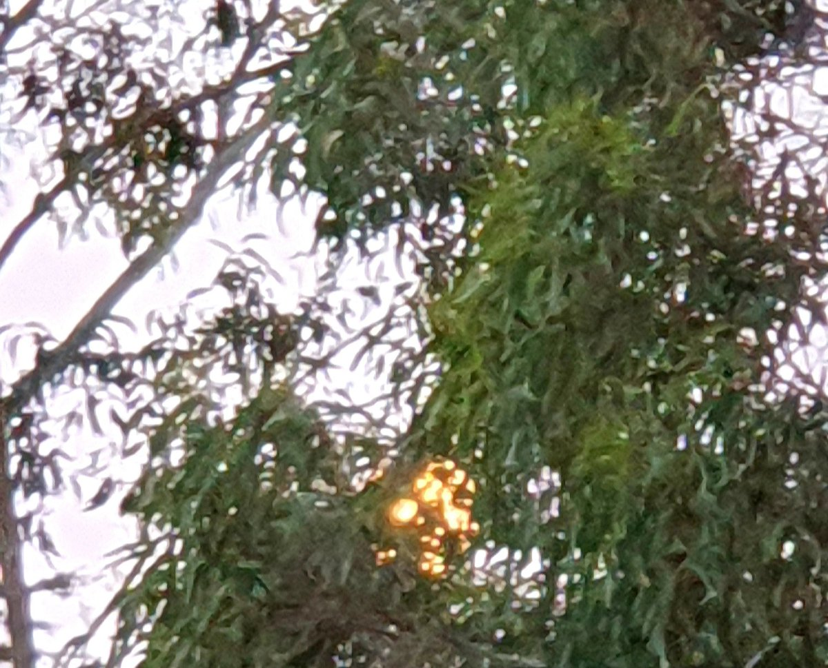 RT @CherScheff: Thursday Moon peering through the leaves #WaxingGibbous  #nearlyfullmoon  #Goodnight 🌕 https://t.co/c4elRDiyHw