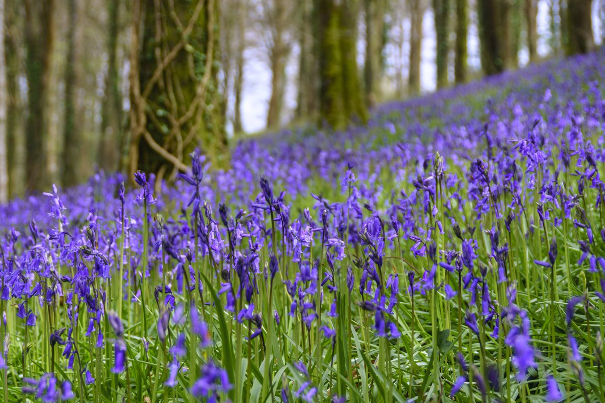 test Twitter Media - Beautiful bluebells, their scent lingering under the tree canopy, vividly carpet the woodland floor near Ermington. #bluebells #devon #spring #flowers @VisitDevonUK @visitsouthdevon #Plymouth #photography https://t.co/LhEHjO9j3z