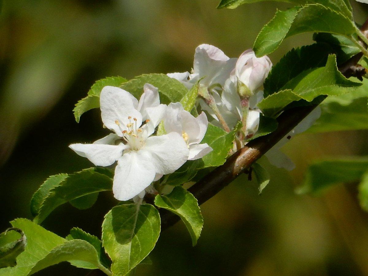 test ツイッターメディア - ヒメリンゴの花が咲いています。 グリーンプラザ裏のバラ園横です。  #ヒメリンゴ #水元公園 https://t.co/HVL85Pi3Ou