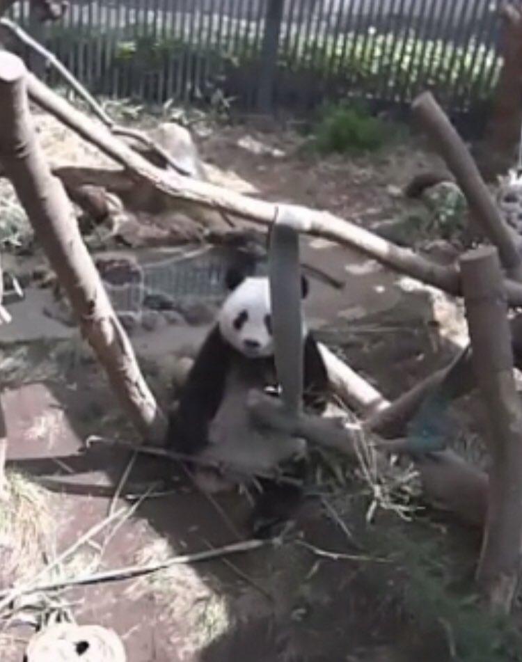 test ツイッターメディア - おはようございます😊  ライブ始まりは寝てましたけど 起きてごはん食べてました🌿🌿🌿  #上野動物園ライブカメラより  #シャンシャン https://t.co/OnbvUtIyas