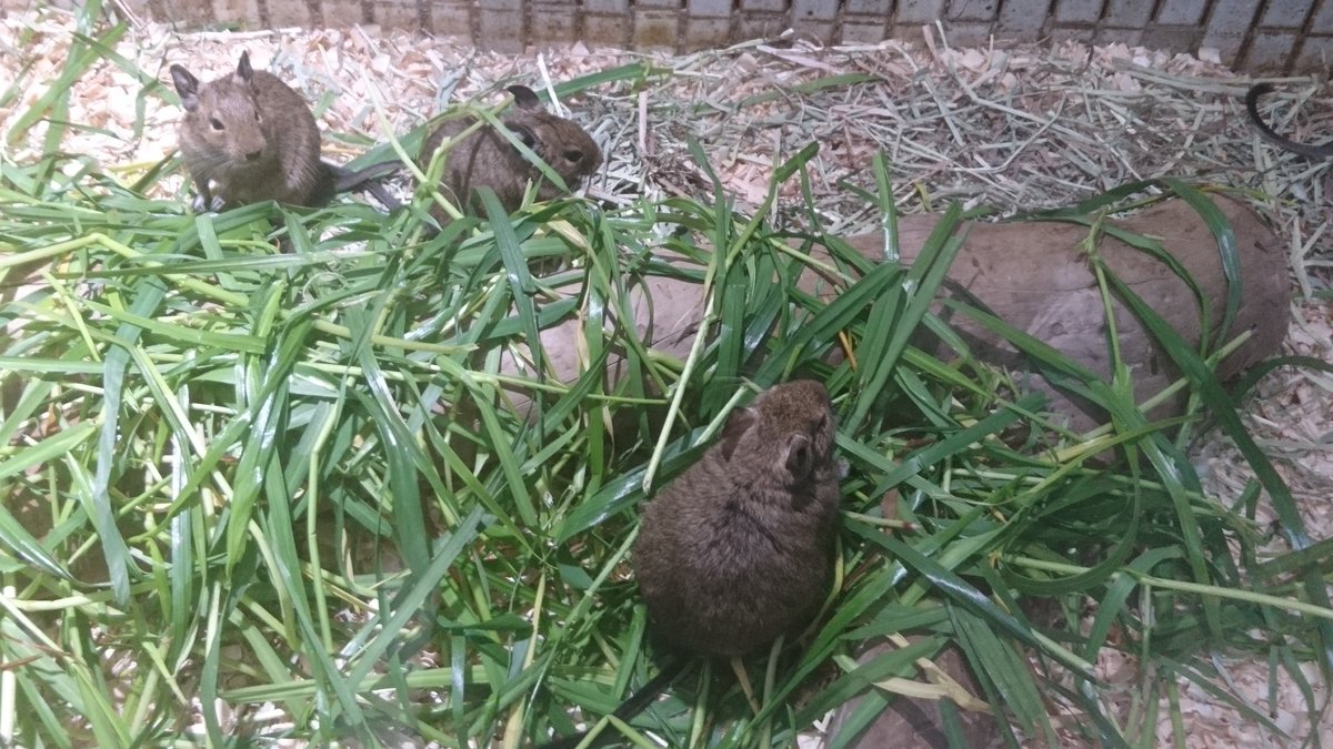 test ツイッターメディア - デグー巡礼アゲイン①  せっかく関東に来たんだからということで、昨年デグーサロンへ行った時と同様、上野動物園へ来ました。  あぁ、癒される✨  そして今回もシャンシャン他、人気の動物たちは余裕のスルー😂  #デグー #上野動物園 https://t.co/AmwpWuSGbJ