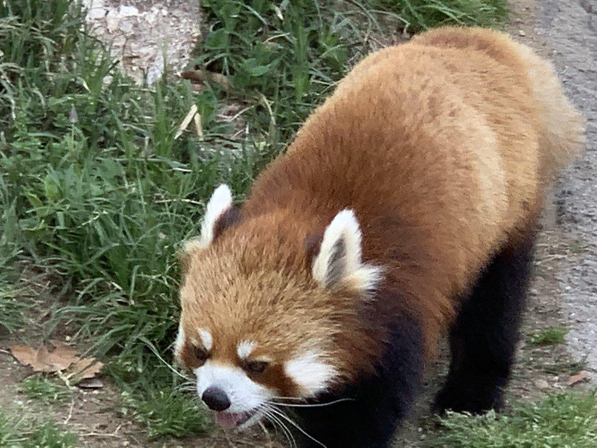test ツイッターメディア - レッサーパンダ  天王寺動物園にもいるけど  王子動物園のレッサーパンダも 可愛い❤️ https://t.co/6YKCrfjqZN